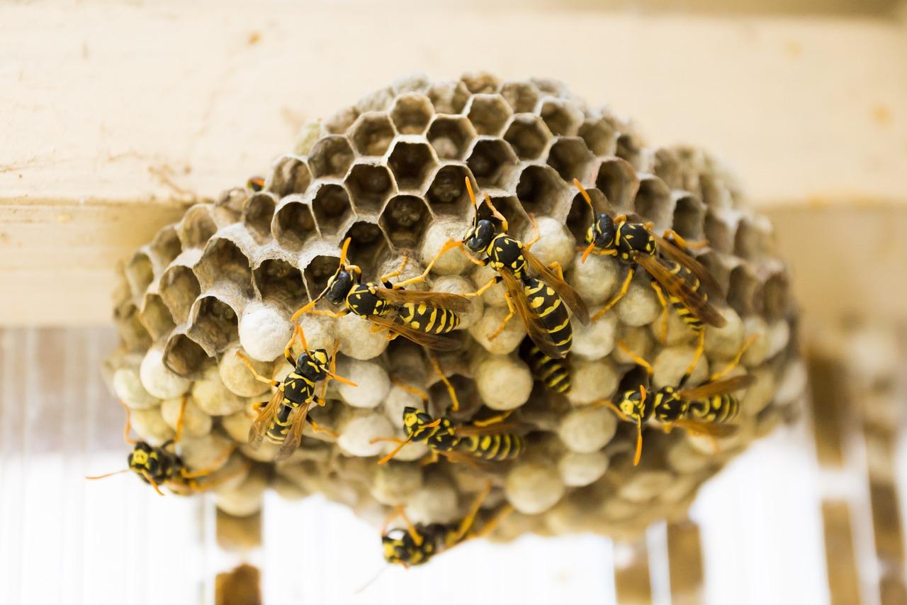Éliminer les nids de guêpes et de frelons : 05 solutions efficaces