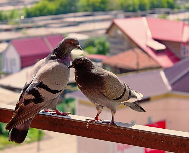 Comment éloigner les pigeons de son balcon sans leur faire du mal?